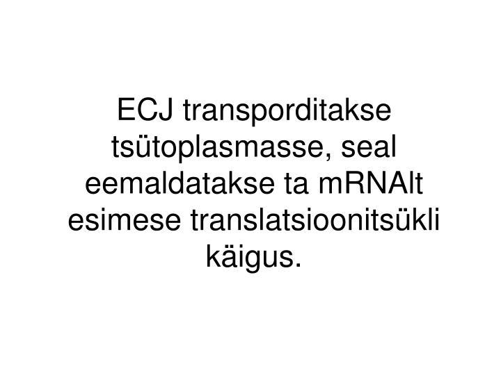 ECJ transporditakse tsütoplasmasse, seal eemaldatakse ta mRNAlt esimese translatsioonitsükli käigus.