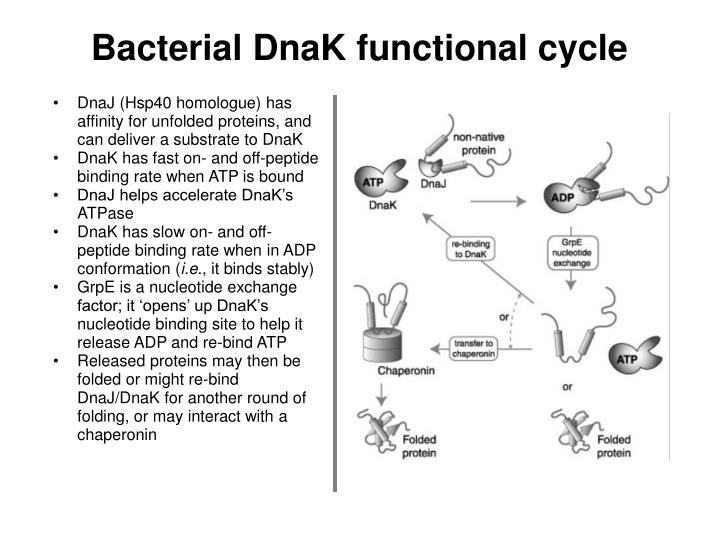 Bacterial DnaK functional cycle
