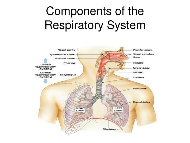 Ppt Respiratory Physiology Powerpoint Presentation Id4563067