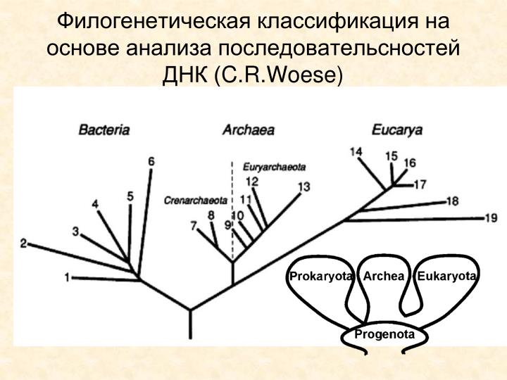 Филогенетическая классификация на основе анализа последовательсностей ДНК (
