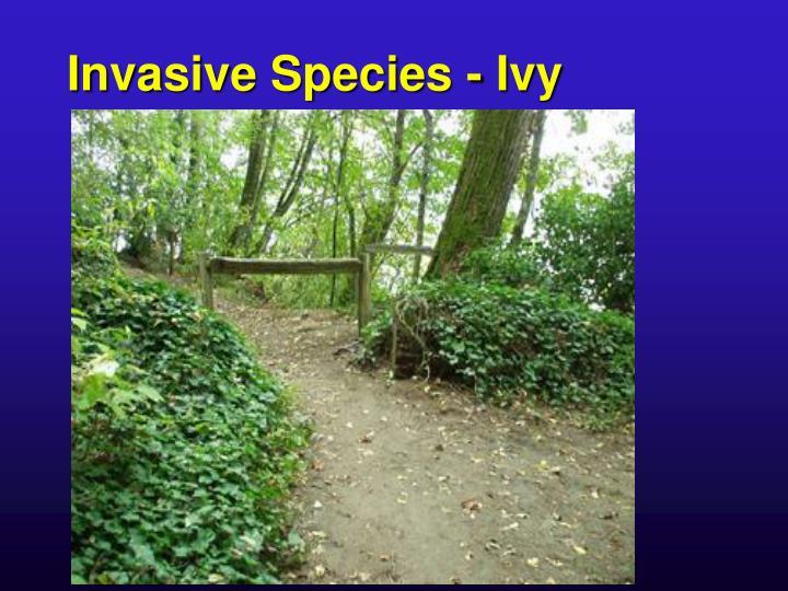 Invasive Species - Ivy