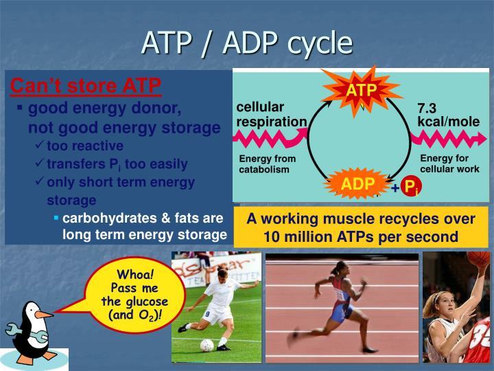 ATP / ADP cycle