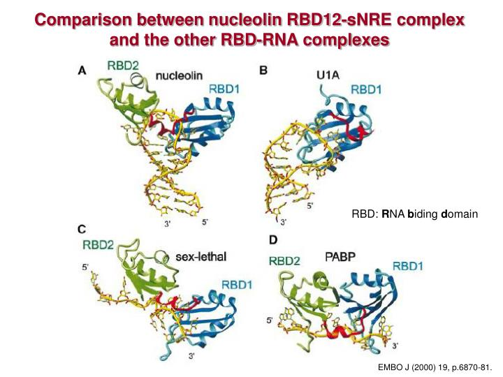 Comparison between nucleolin RBD12-sNRE complex and the other RBD-RNA complexes