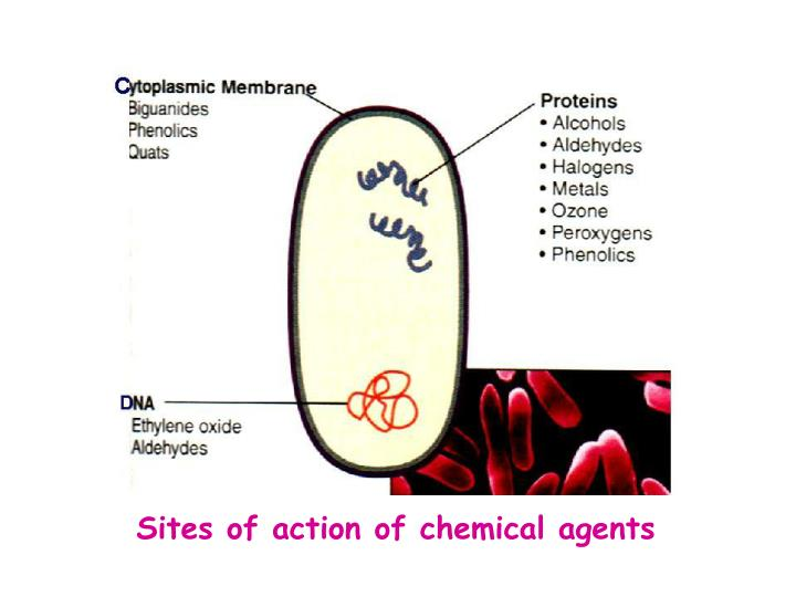 Sites of action of chemical agents