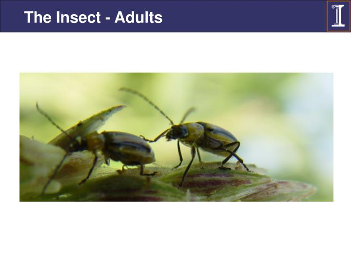 The Insect - Adults