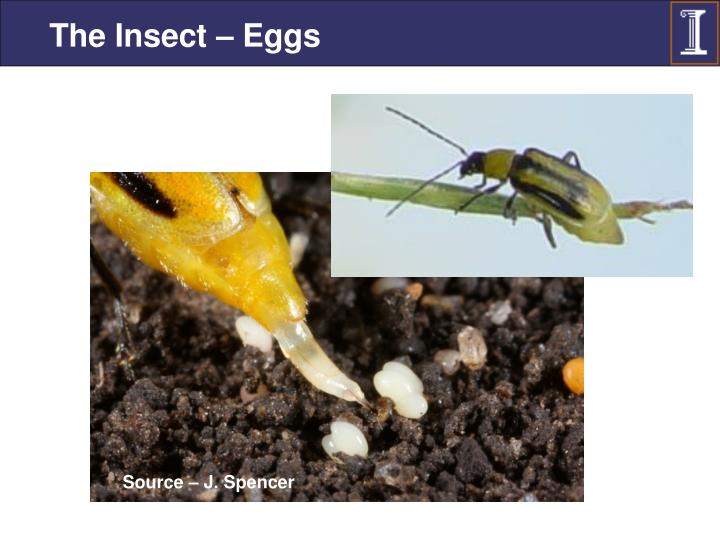 The Insect – Eggs