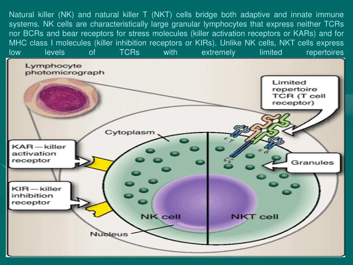 natural killer cells Natural killer cell: a cell that can react against and destroy another cell without prior sensitization to it abbreviated nk cell nk cells are part of our first line of defense against cancer cells and virus-infected cells.