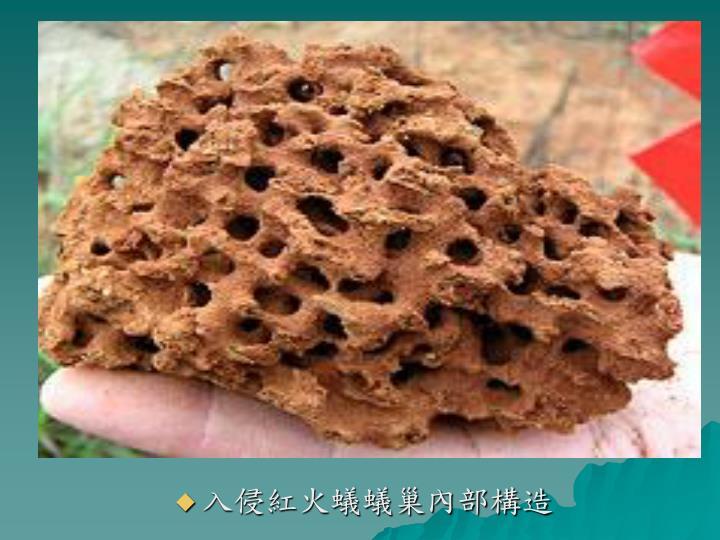 入侵紅火蟻蟻巢內部構造