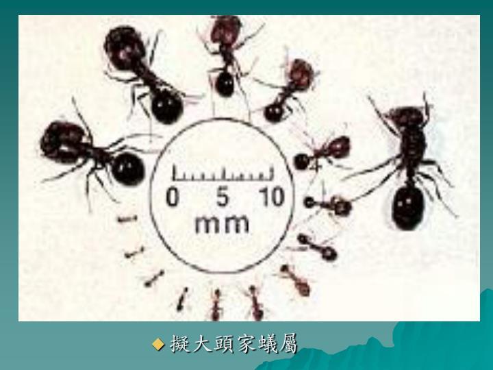擬大頭家蟻屬