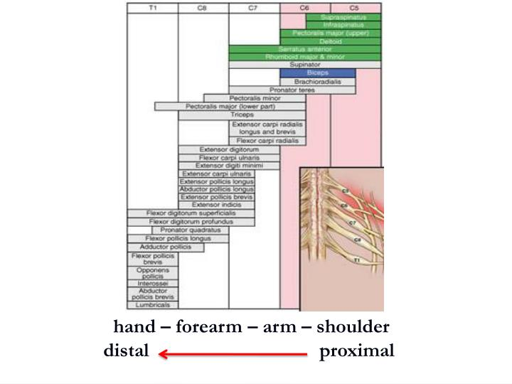 hand – forearm – arm – shoulder