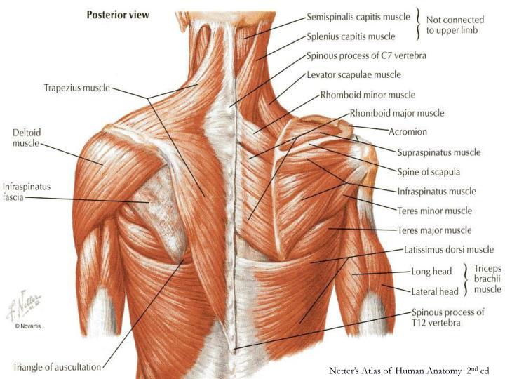 Netter's Atlas of Human Anatomy  2