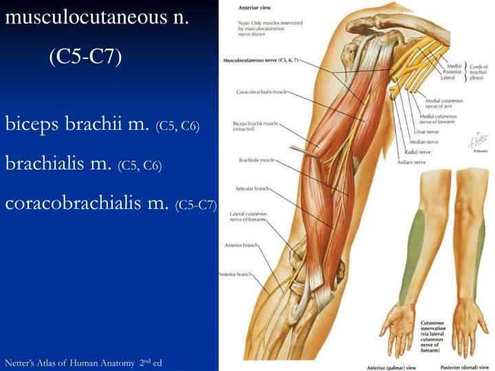 musculocutaneous n.