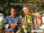 fresh triphala fruits