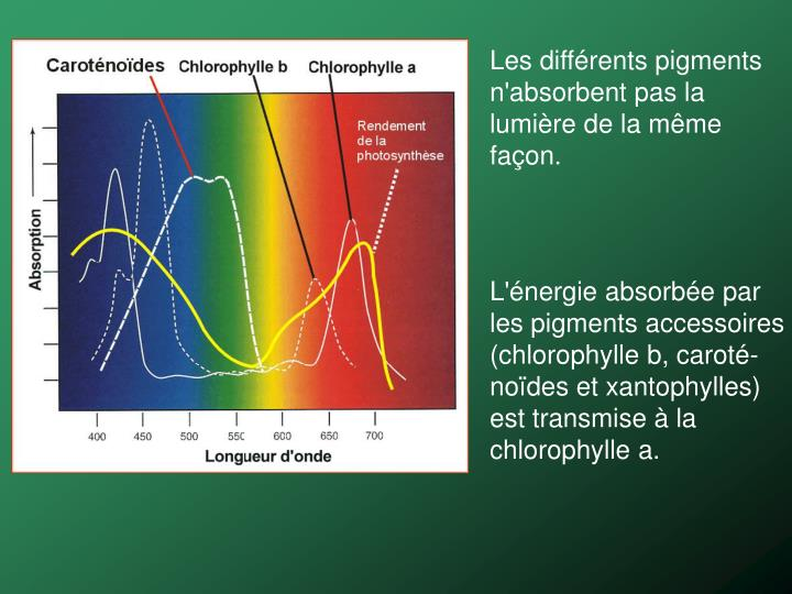 Les différents pigments n'absorbent pas la lumière de la même façon.
