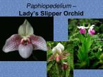 paphiopedelium lady s slipper orchid3
