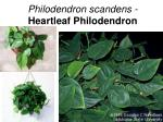 philodendron scandens heartleaf philodendron