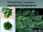 philodendron scandens heartleaf philodendron1