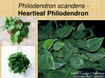 philodendron scandens heartleaf philodendron2