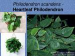 philodendron scandens heartleaf philodendron3