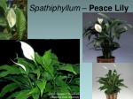 spathiphyllum peace lily1