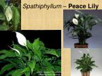 spathiphyllum peace lily2