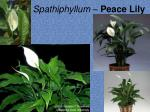 spathiphyllum peace lily3