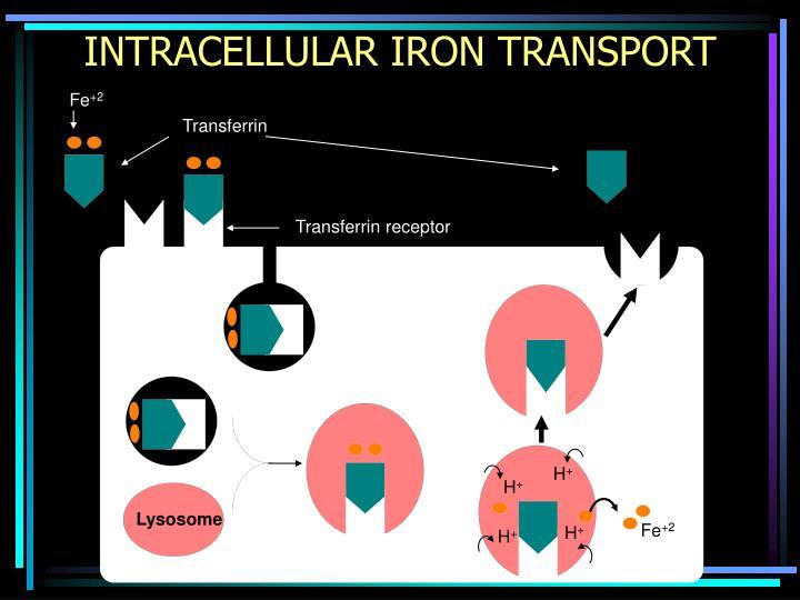 INTRACELLULAR IRON TRANSPORT