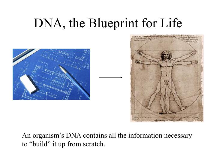 Ppt dna the blueprint for life powerpoint presentation id4585991 dna the blueprint for life malvernweather Choice Image
