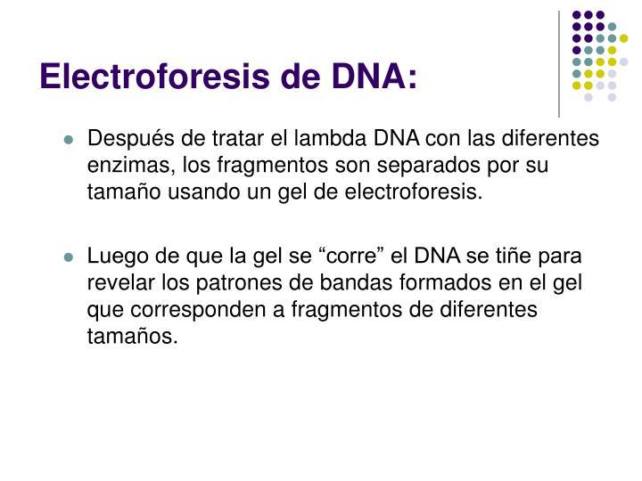 Electroforesis de DNA: