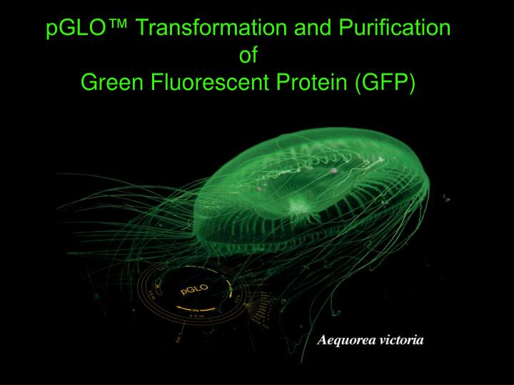 pglo transformation and purification of green fluorescent protein gfp n.