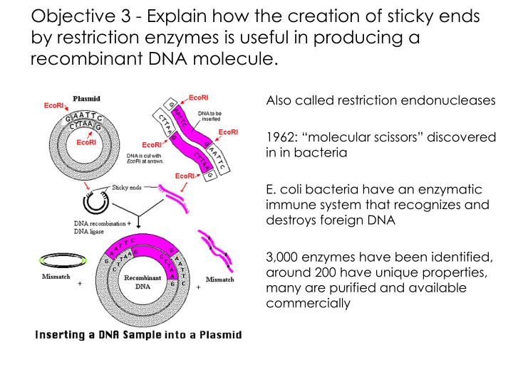 Objective 3 - Explain how the creation of sticky ends by restriction enzymes is useful in producing a recombinant DNA molecule.