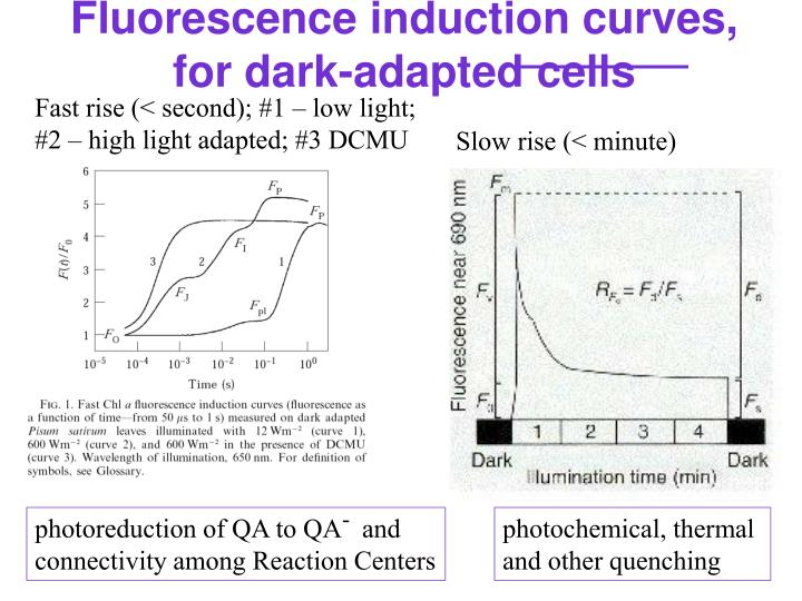 Fluorescence induction curves, for dark-adapted cells