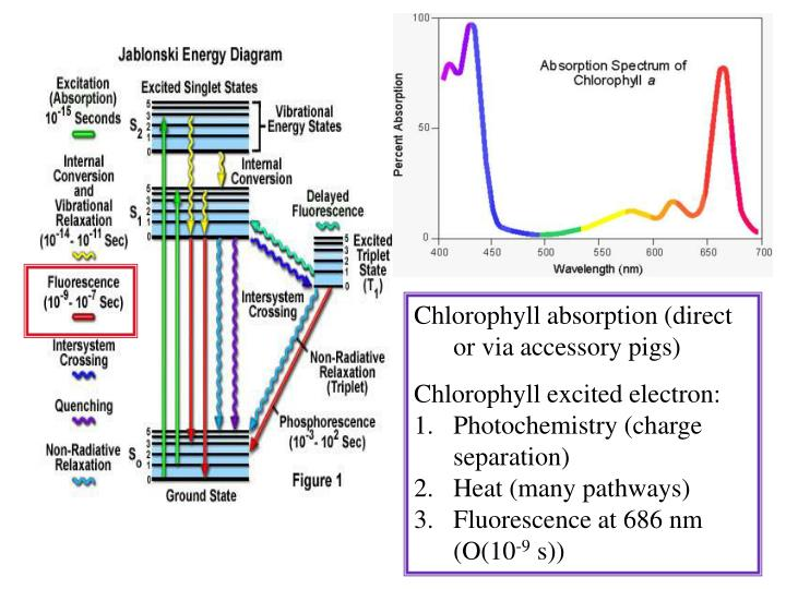 Chlorophyll absorption (direct or via accessory pigs)