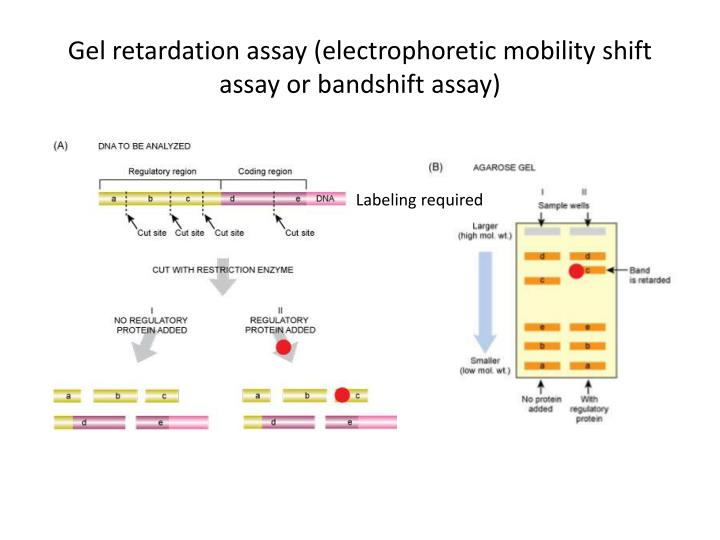 electrophoretic mobility shift assay advantages The nuclear transcription factor nf-κb regulates cell survival, proliferation, and differentiation little is known about nf-κb in myeloid malignancies.