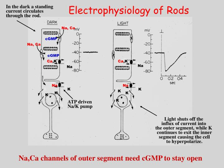 Electrophysiology of Rods