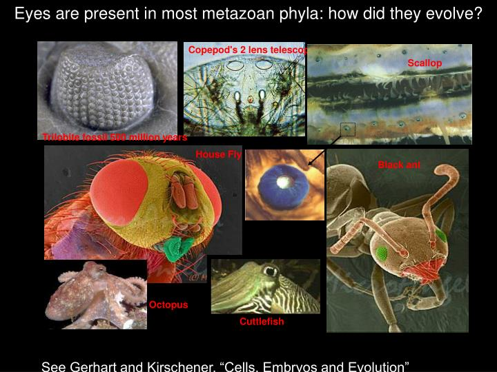 Eyes are present in most metazoan phyla how did they evolve