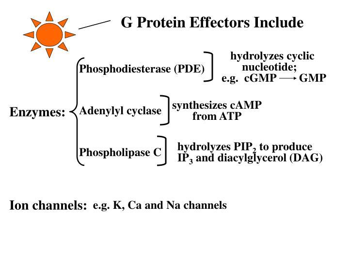 G Protein Effectors Include