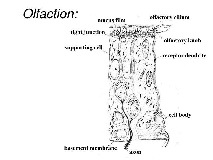 Olfaction: