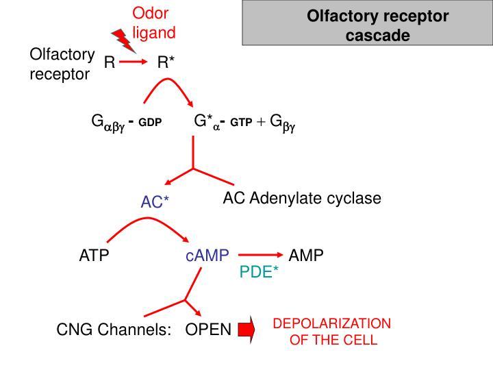 Olfactory receptor