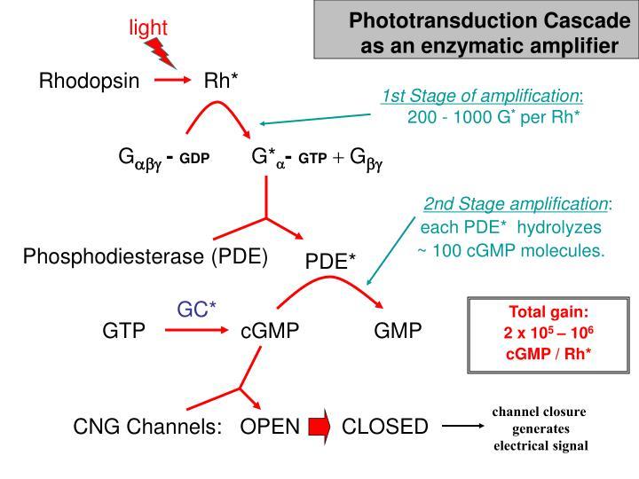 Phototransduction Cascade