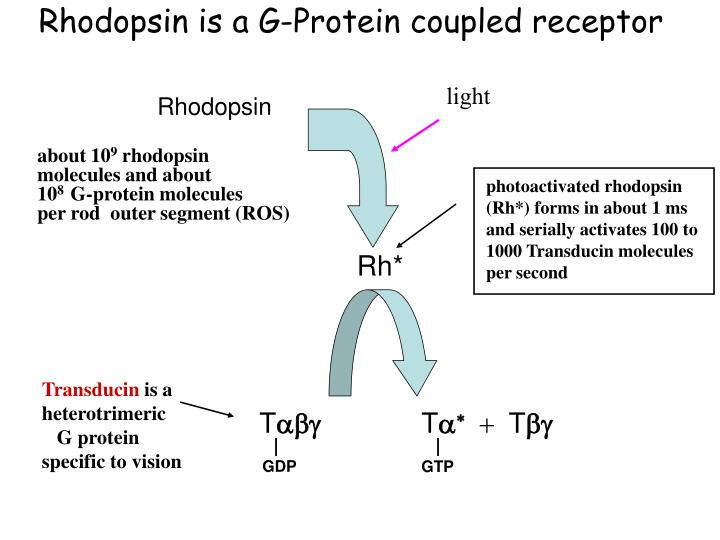 Rhodopsin is a G-Protein coupled receptor