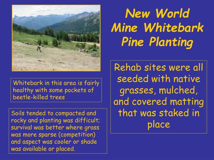 New world mine whitebark pine planting1
