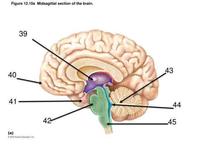 Figure 12.10a  Midsagittal section of the brain.