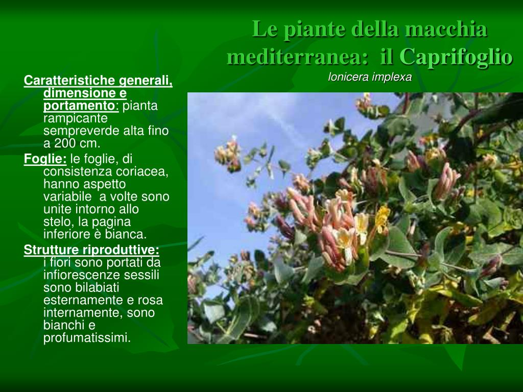 Fiori Bianchi Macchia Mediterranea.Ppt Visita Con Legambiente Powerpoint Presentation Free