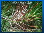 pine needle cast