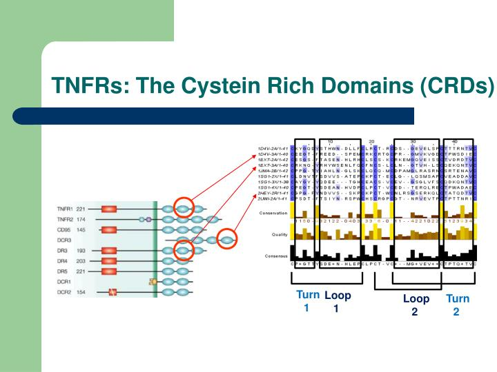 TNFRs: The Cystein Rich Domains (CRDs)