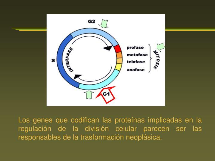 Los genes que codifican las proteínas implicadas en la regulación de la división celular parecen ser las responsables de la trasformación neoplásica.