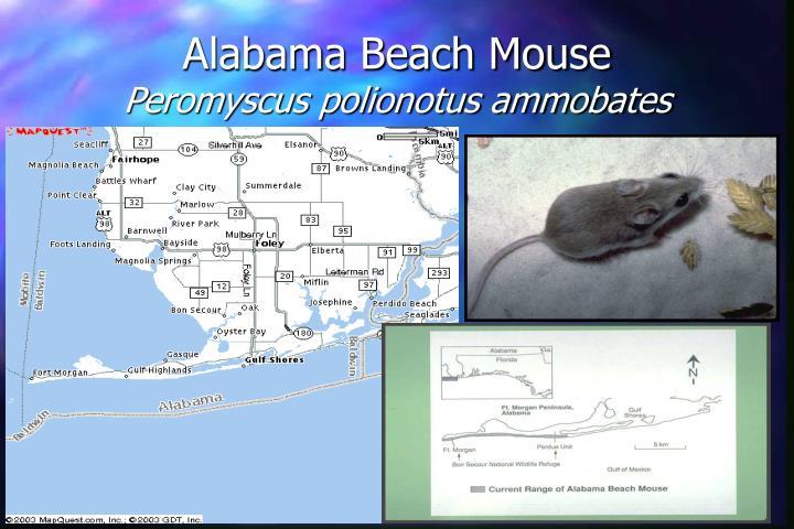 Alabama beach mouse peromyscus polionotus ammobates