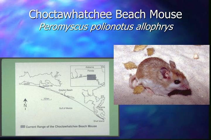 Choctawhatchee Beach Mouse