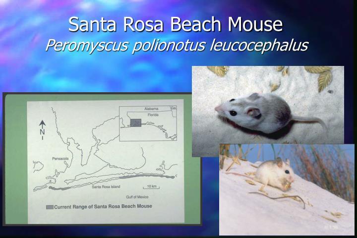 Santa Rosa Beach Mouse